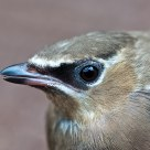 Cedar Waxwing (juvenile)